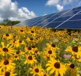 Sunflower Power: Sunflowers for solar farms
